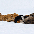 Pariah Dogs On The Snow - Featured 2 by Alexander Senin