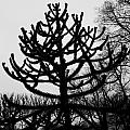 Paris Black And White Tree In The Jardin Des Plantes by Evie Carrier
