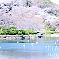 Park With Pond And Cherry Blossoms In Spring by Beverly Claire Kaiya