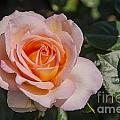Parnell Pink Rose by Bob Phillips