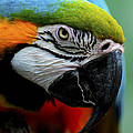 Parrot 13 by Ingrid Smith-Johnsen