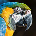 Parrot Close Up by Donna Shaw