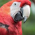 Parrot Profile by Carol Groenen