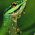 Parrot Snake Eating Frog Eggs by Christian Ziegler