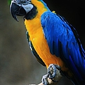 Parrot by Tonya Hance