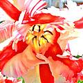 Parrot Tulip by Jane Schnetlage