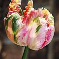 Parrot Tulip by Melissa Estep