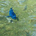 Parrotfish On A Swim by John M Bailey