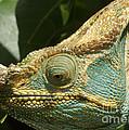 Parsons Chameleon From Madagascar 12 by Rudi Prott
