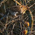 Partridge In An Apple Tree by Cheryl Baxter