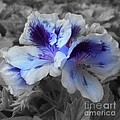 Pasion Blue by Jacey Adrian