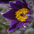 Pasque Flower by Edie Snell