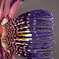 Passiflora Alata - Passion Flower - Ruby Star - Ouvaca by Sharon Mau