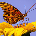 Passion Butterfly On The Mexican Sunflower by Zina Stromberg