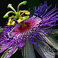 Passion Flower by Douglas Stucky