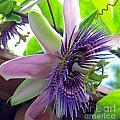 Passion Flower by Tina M Wenger