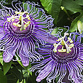 Passion Flowers by Kenneth Albin