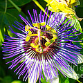 Passion Fruit Flower by G Matthew Laughton