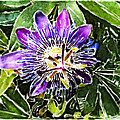 Passion Fruit Flower by Nato  Gomes