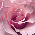 Passion Pink Rose Flower by Jennie Marie Schell