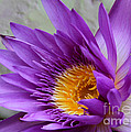 Passionate Purple Water Lily by Sabrina L Ryan