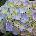 Pastel Blue Hydrangea by Christiane Schulze Art And Photography