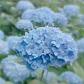Pastel Blue Hydrangea by Kim Hojnacki