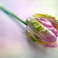 Pastel Parrot Tulip by Jessica Jenney