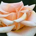 Pastel Peach Rose by Maria Urso