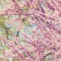 Pastel Pink Flowers Of Redbud Tree In Springtime  by Lisa Russo