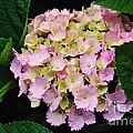 Pastel Pink Hydrangea by Kaye Menner
