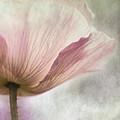 Pastel Pink Poppy by Priska Wettstein