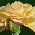 Pastel Rose Ruffles by Maria Urso