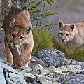 Patagonia Pumas by David Beebe