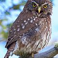 Patagonia Pygmy Owl by David Beebe