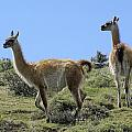 Patagonian Guanacos by Michele Burgess