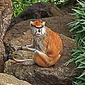 Patas Monkey by Kate Brown