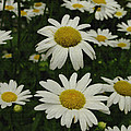 Patch Of Daisies by James C Thomas