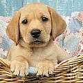Patchwork Puppy Dp793 by Greg Cuddiford