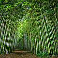 Path Through Bamboo Forest E139 by Wendell Franks