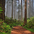 Path Thru The Redwoods by Michael  Ayers