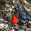 Patient Cardinal by Greg Boutz