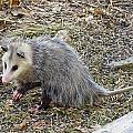 Pawing Possum by MTBobbins Photography