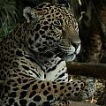 Paws Of A Jaguar by Mickey At Rawshutterbug