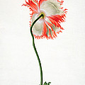 Field Poppy by Pieter Withoos