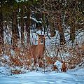 Peace Valley Park Deer by Michael Brooks