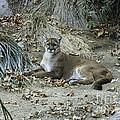 Bobcat by Mae Wertz