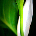 Peaceful Lily by Laurie Pike