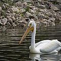 Peaceful Pelican by Jayne Gohr