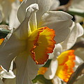 Peach And Cream Daffodil by Alfred Ng